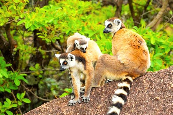 Madagascar-Tsara-camp-Ring-tailed-lemur-600-400