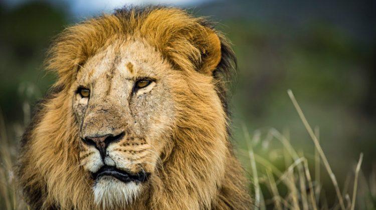 Lewa Borana Wildlife Census - Lion @BrittanyMumma
