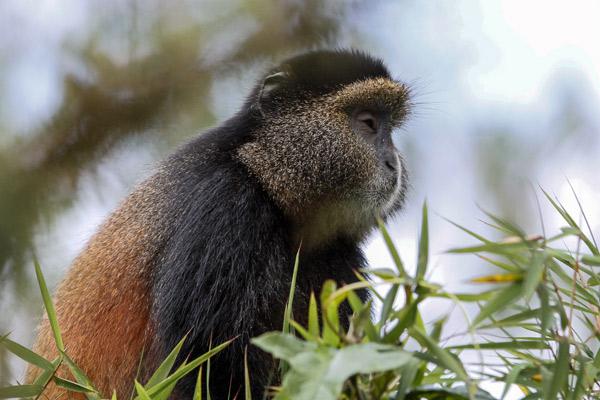 rwanda-golden-monkey-bisate-lodge-primate-1-caroline-culbert-600-400