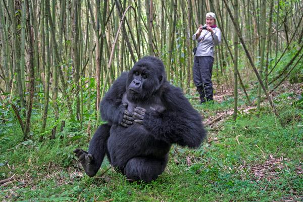 rwanda-gorilla-trekking-bisate-lodge-600-400
