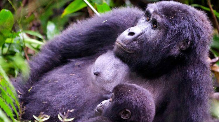 Rwanda's gorillas mother and baby