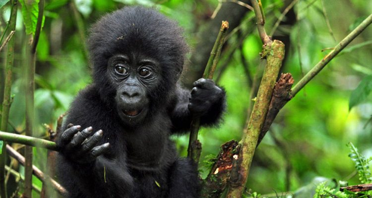 baby mountain gorilla sitting in a tree looking left