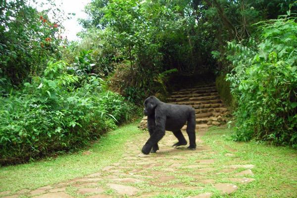 bwindi-uganda-gorilla-in-the-garden-600-400