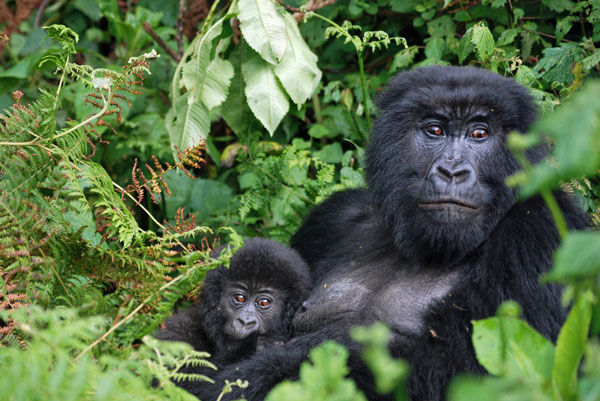 gorilla-mother-and-baby-volcanoes---Copy