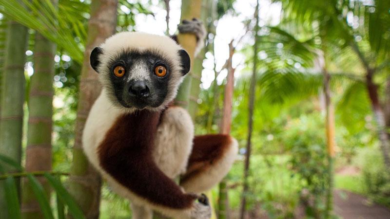 Lemurs Of Madagascar Aardvark Safaris