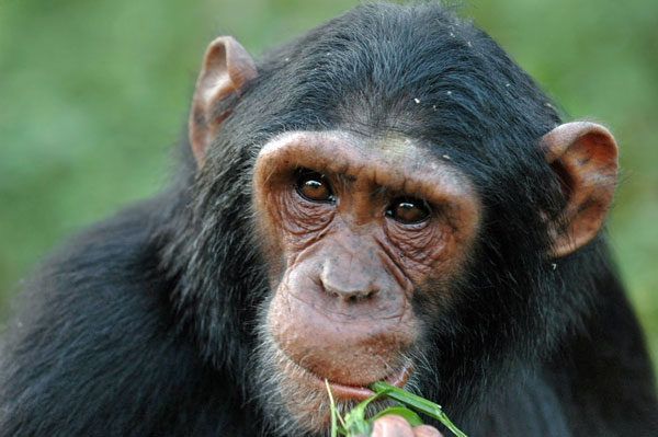 volcanoes-chimp-eating-grass-600