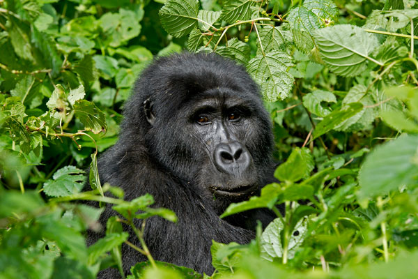 Gorilla-Tracking---Gorilla-Forest-Camp-600