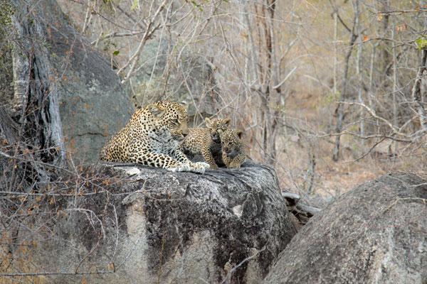 Ndzanzeni-cubs-rock-JT-londolozi-600