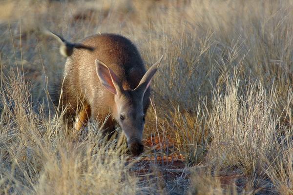 aardvark safaris facts aardvark Tswalu