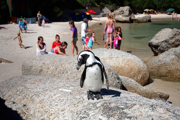 Penguins-for-Boulders-Swimming-600-400