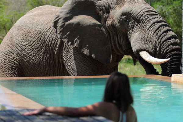 elephant-at-swimming-pool-at-andbeyond-phinda-homestead-on-a-south-africa-safari-600