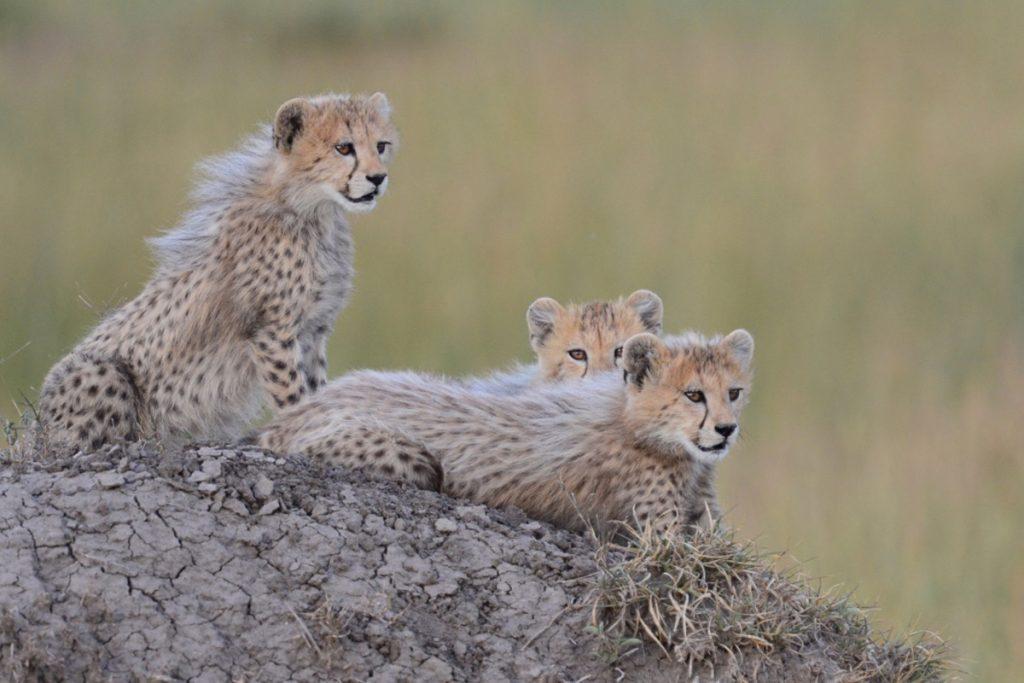 Tangulia Mara Camp cheetah