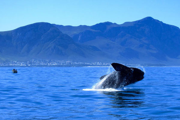Southern Right whale breaching at Hermanus Escape Explore