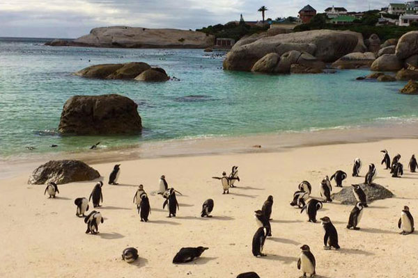 African penguin colony on the beach Simon's Town © Explore + Escape