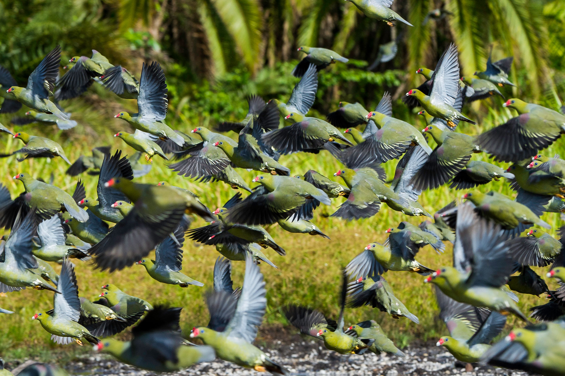 Congo birding, flock of green pigeon, Odzala-Kokoua National Park