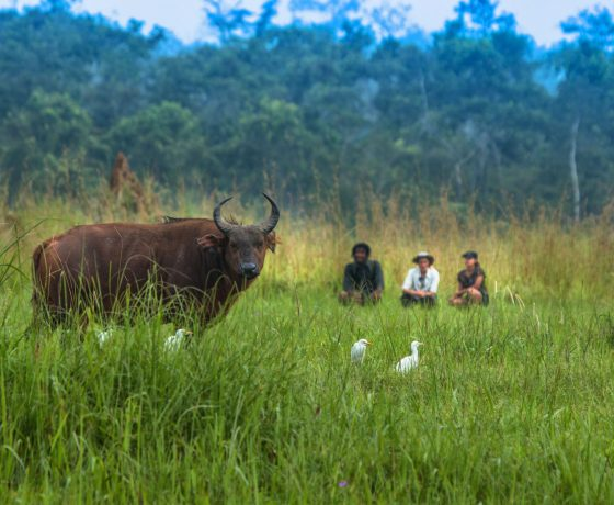 Congo wildlife viewing forest buffalo - walking safaris Andrew Howard