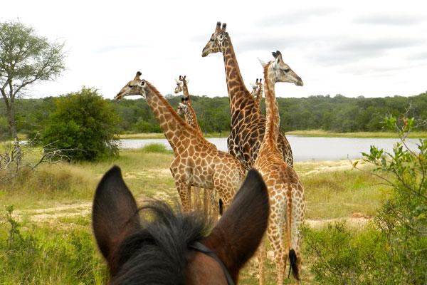 Between the horse ear photo of a herd of giraffe a Wait A Little South Africa