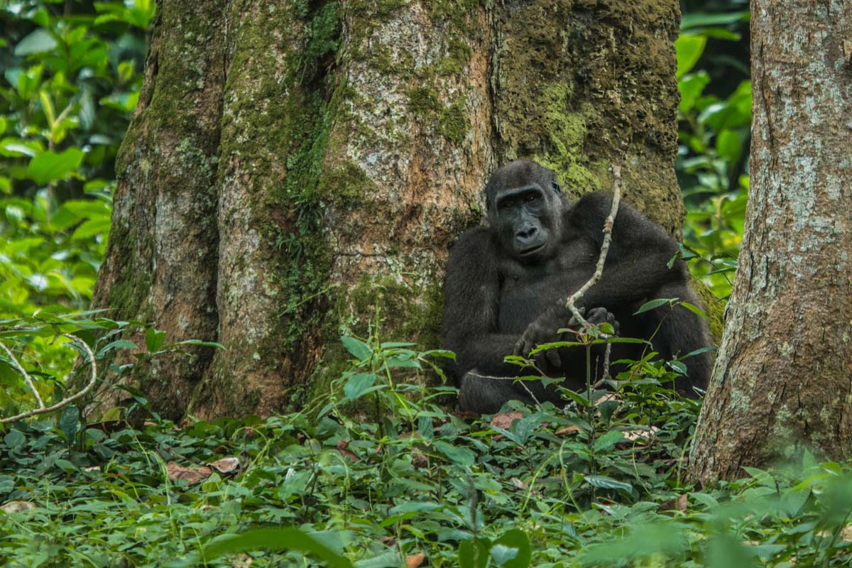 Ngaga Camp western lowland gorilla, Odzala-Kokoua, Congo