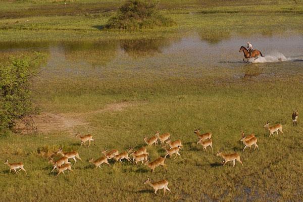 Trail ride Okavango Horse Safaris riding through the Delta with lechwe