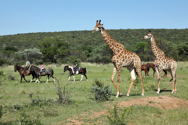 Horseback safari riding with giraffe at Ant's Nest South Africa