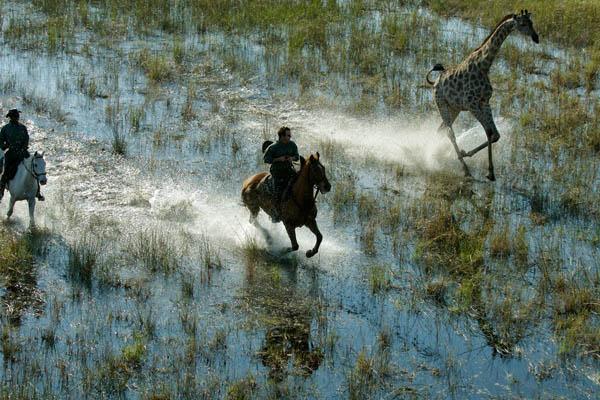 Guide and guest riding through the Delta waters alongside giraffe, Okavango Delta, Botswana, African Horseback Safaris