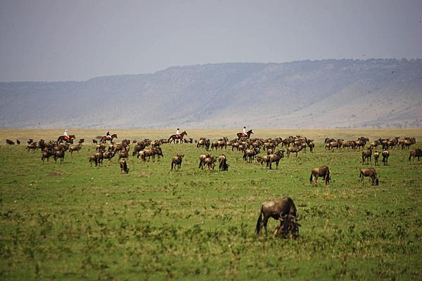 Riding with wildebeest, Masai Mara, Kenya, Safaris Unlimited