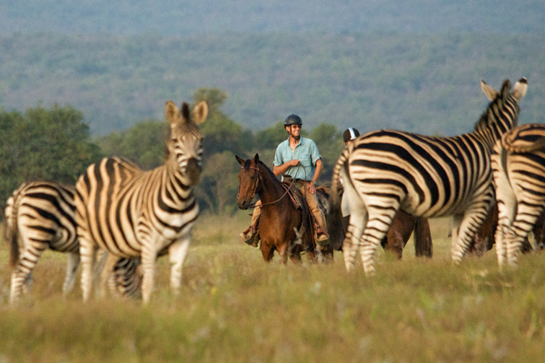Riding safari guide Shane Dowinton on horseback with zebra herd, Botswana, Limpopo Valley Horse Safaris