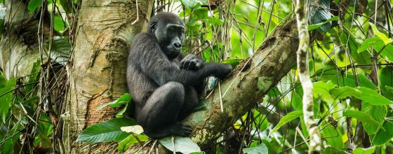 Western lowland gorilla mother and baby piggyback gorilla trekking, Congo Odzala Discovery Camps