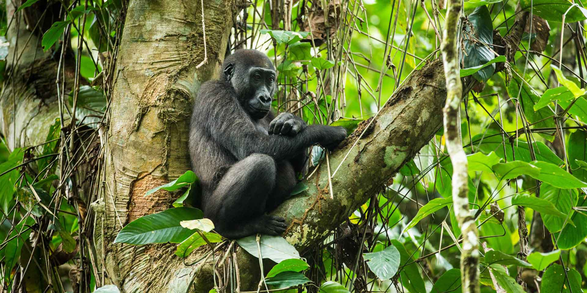 Republic Of Congo Western Lowland Gorilla And Forest Elephant
