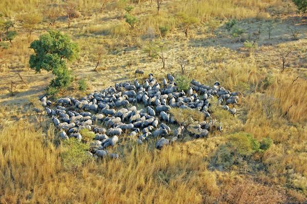 Aerial of large elephant herd, Zakouma National Park, Chad © David Eddeari