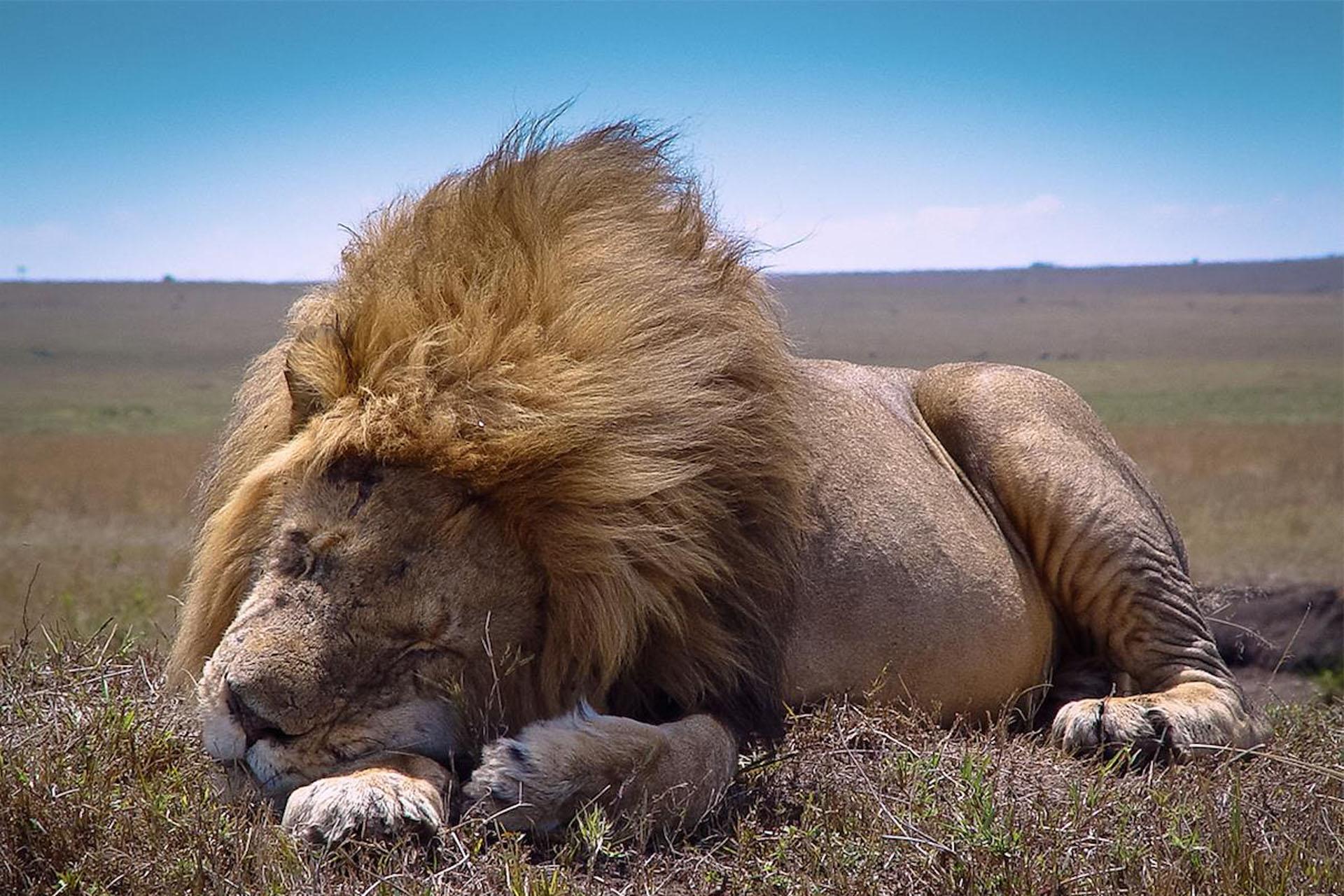 Gigantic lion asleep © Saba-Douglas-Hamilton