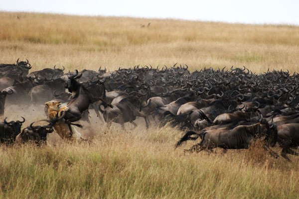 Lioness hunting wildebeest, Mara Plains Camp, Great Plains conservation, Beverly Joubert