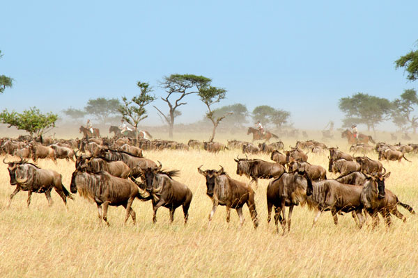Horseback safari alongside wildebeest, Grumeti Serengeti, Tanzania Singita