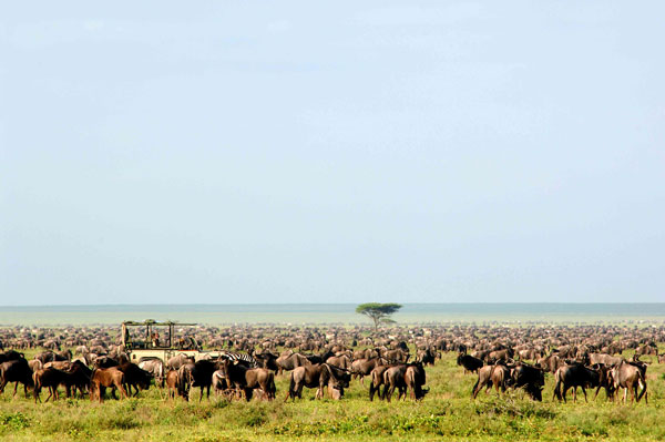 Safari vehicle viewing the wildebeest migration in the wildebeest herd, Serengeti Safari Camp, Tanzania Nomad Tanzania