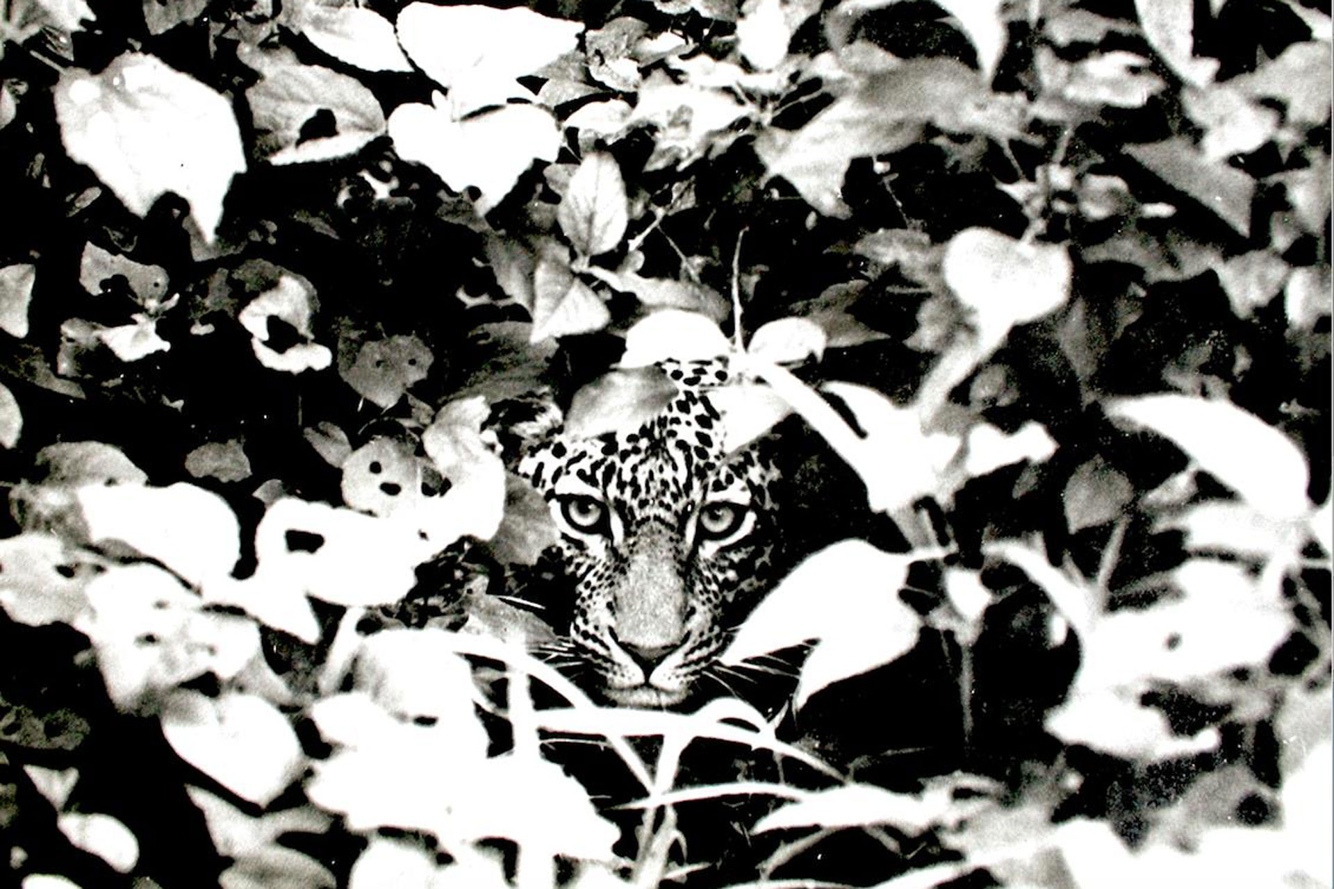 Leopard peering from the bush print to buy © Saba Douglas-Hamilton