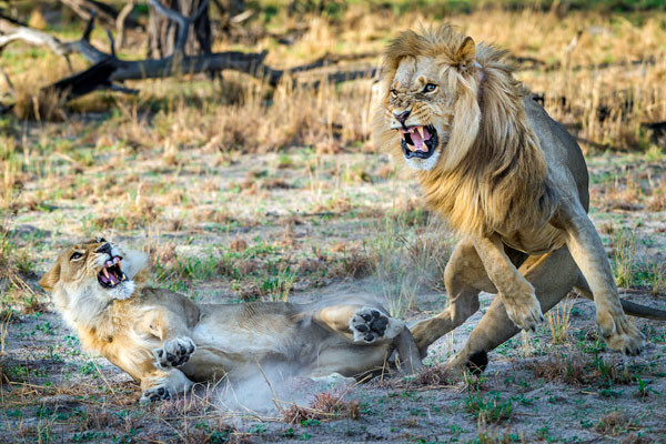 Botswana Gomoti Tented Camp lion and lioness mid-air fighting © Dana Allen