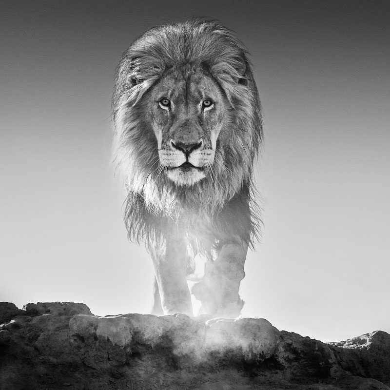 'The Old Testament' lion black and white print David Yarrow gifts for Africa