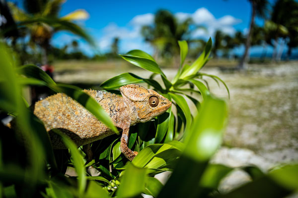 beaches with adventure like spotting chameleons at Miavana, Madagascar, Time+Tide Africa