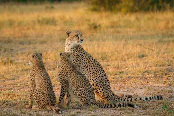 Cheetah family at Londolozi, South Africa
