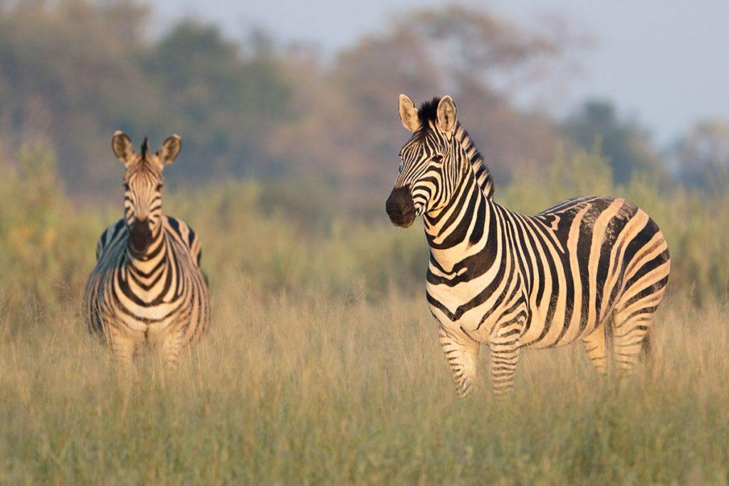 Qorokwe Camp zebras