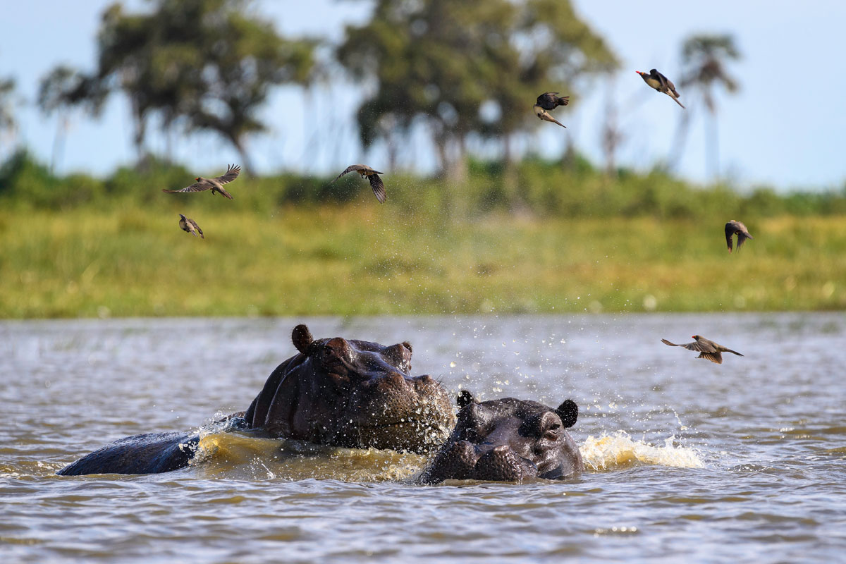 Qorokwe_hippo