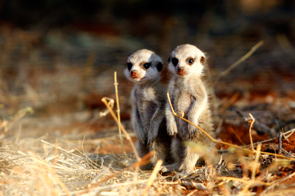The whimsical meerkats at Tswalu