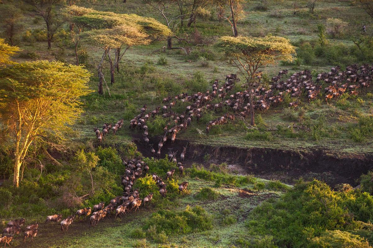 Mwiba Lodge wildebeest migration stampeding wildebeest migration blog