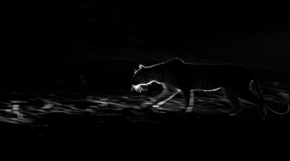 Back lit leopard