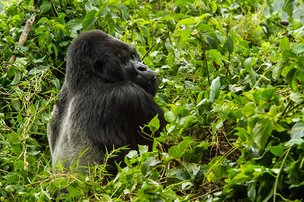Mountain gorilla, Volcanoes National Park, Bisate Lodge, Rwanda
