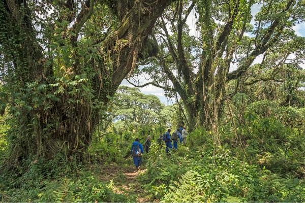 Gorilla tracking Volcanoes National Park, Bisate Lodge, Rwanda