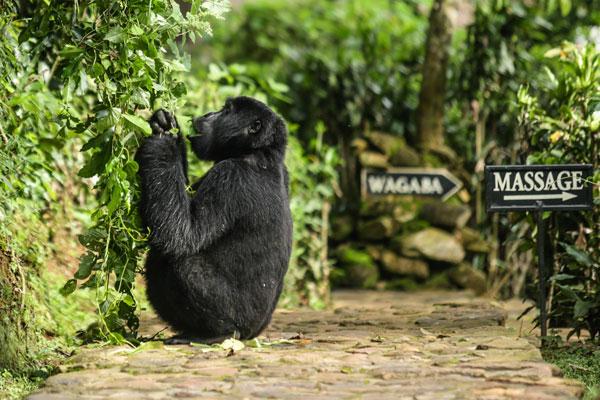 Mountain gorilla, Bwindi Lodge, Bwindi, Uganda