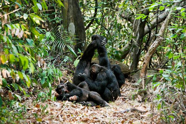 Chimpanzee family, Greystoke Mahale, western Tanzania