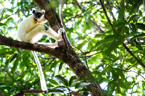 Tracking lemurs, Miavana, Madagascar