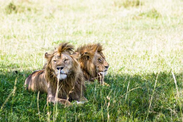 Lion, Singita Explore, Grumeti, Tanzania
